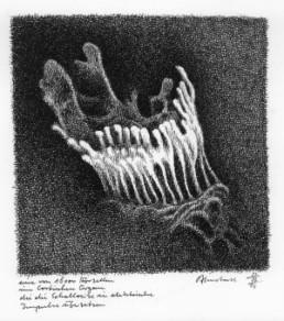 Almstadt, Otto *1940 >Eine von 16.000 Hörzellen< 2006 Federzeichnung 25 x 29,7 cm Besitz des Künstlers